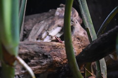Tiny Frog (Adventurer Dustin Holmes) Tags: 2018 wondersofwildlife frog poisonfrog poisondartfrog poisonarrowfrog animal animals dendrobatidae animalia chordata amphibia neobatrachia anura dendrobatoidea amphibian nature