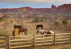 Capitol Reef, Utah Trail Horses (EdBob) Tags: horses corral fence southwest landscape sunrise morning trail capitolreef nationalpark mountains red rock dawn travel spring desert cowboy horse west western utah torrey nopeople nobody americansouthwest edmundlowephotography edmundlowe nature outdoors adventure america usa allmyphotographsare©copyrightedandallrightsreservednoneofthesephotosmaybereproducedandorusedinanyformofpublicationprintortheinternetwithoutmywrittenpermission