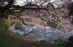 Cherry Blossom by Water (delge) Tags: tokyo japan gyoen shinjuku cherryblossom lecia leicam leicam7 m7 fuji fujifilm fujisuperia fujisuperiaxtra fujisuperiaxtra400 superia400 superiaxtra400 fuji400 35mm 35mmphotography filmphotography zeiss zeissbiogon zeissbiogonzm35mm28 f28