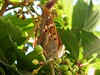 Idill (feny-kepesseg) Tags: idill bogáncslepke vanessa cardui butterfly lepke pillangó vadszőlő parthenocissus tricuspidata idyll