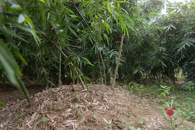 鳳梨、竹筍通通吃酵素長大,無農藥耕種 三竹居士 (15)