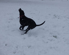 Judging the distance (Lexie's Mum) Tags: snow snowfall december2017 cold winter fun laughter dog lester coronationwalk