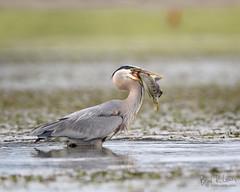 Great Blue Heron - Fishing (BradRLewis) Tags: greatblueheron waterbird fish ocean elkhorn slough monterey bay santa crua