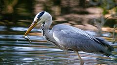Fishing (Unintended_Keith) Tags: fishing fish greyheron patience bird maidenerleghlake nature wildlife naturereserve canon1dx sigma150600mms