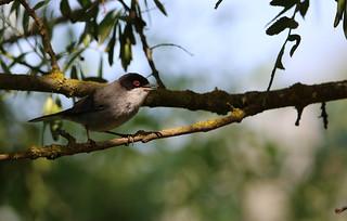 Toutinegra-de-cabeça-preta - (Sylvia melanocephala) - Sardinian warbler