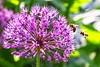 Busy Bees love Alium (primosavage) Tags: alium bees pollination purple sensation allium spring early summerflowering perennials english country garden flower tree sky