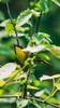 Curious Common Yellowthroat (Jacob Valerio) Tags: jake valerio jacob nikon d800 ohio common yellowthroat
