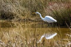 Kotuku/White Heron, Abel Tasman National Park (flyingkiwigirl) Tags: abeltasman bird camp deer doc fernbird goldenbay kereru nationalpark pukeko totaranui weka whiteheron