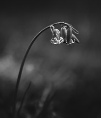 bluebell (Ade G) Tags: bw macro nature bluebells closeup flowers plants