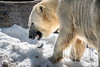 Fish Caching (helenehoffman) Tags: arctic bear wildlife conservationstatusvulnerable sandiegozoo mammal fish ursusmaritimus ursidae tatqiq polarbear polarbearplunge marinemammal animal