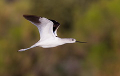 American Avocet.Gilbert water ranch AZ (mandokid1) Tags: canon 1dx canon500f4 birds shorebirds arizona