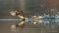 The wood duck gets it.. (Earl Reinink) Tags: duck grebe waterfowl fight water splash lake animal woodduck redneckedgrebe earl reinink earlreinink otuuiuhdza