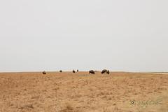 Bison on the prairie (yosmama151) Tags: kansas spring tallgrassprairienationalpreserve prarie greatplains plains bison americanbison grazer
