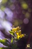 GIALLI (Lace1952) Tags: primavera fiori fiorigialli natura controlucesfocato fuorifuoco bokeh effetto bolle