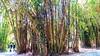 IMG_9047  -  bamboo - (molovate) Tags: ortobotanico palermo tafme controluce canon powershot sx40 hs giardino villa museo volate albero canne bambù verde unipa università strada foresta legno
