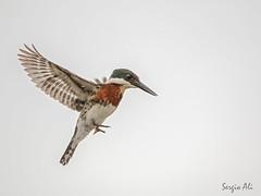 Martin pescador halconeando (Sergio Ali - Naturaleza en imágenes) Tags: martínpescador martínpescadorchico birds aves entrerios nature naturaleza