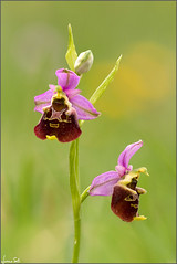 you are the best thing (Luciano Silei - sky7) Tags: ophrys ophrysholosericea canon7d sigma150macro lucianosilei macro closeup nature orchid wildorchid