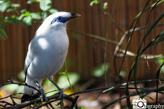 Bali Myna (Mike House Photography) Tags: wild place project bristol zoo gardens outdoor park recreation facility conservation wildlife safari organisation animals bali myna rothschilds starling