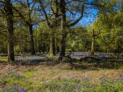Bluebells at Ashridge-1 (adambowie) Tags: bluebells ashridgeestate woods flowers