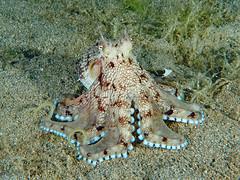 Coconut Octopus (oceanzam) Tags: ocean sea scuba diving blue octopus deep dark night light shadow nature philippines creature cephalopod animal life travel holiday beach shore seashore
