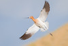 Avocet in Flight (Amy Hudechek Photography) Tags: americanavocet avocet shorebird flight breeding colors wildlife nature amyhudechek nikond500 nikon600mmf4 spring migration colorado