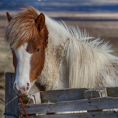 Icelandic Horse (JPaulTierney) Tags: 2018 april canon iceland pony 7d ef70300 horse chestnut pinto