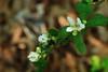 Wild Strawberry Blooms along Lake Fayetteville Trail, Northwest Arkansas (danjdavis) Tags: lakefayettevilletrail arkansas wildstrawberry flower whiteflower