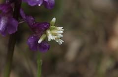 l'orchidée sauvage mangeuse de fleurs blanches (bulbocode909) Tags: valais suisse fleurs orchidéessauvages nature printemps montagnes vert