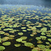 water lilies at Egelsee