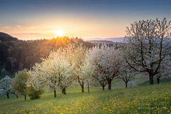 A7301618_s (AndiP66) Tags: sunset luzernerhinterland obstbäume fruittrees blüten blossoms altbüron grossdietwil kanton luzern canton lucerne schweiz switzerland sonnenuntergang sonne sun evening abend april frühling spring 2018 sony sonyalpha 7markiii 7iii 7m3 a7iii alpha ilce7m3 sigma sigma24105mmf4dghsmart sigma24105mm 24105mm art amount laea3 andreaspeters