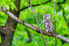 Screech Owl (bparker321) Tags: owl screech newyork 2018 tree woods