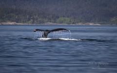 Gray whale or Pacific Grey Whale (Eschrichtius robustus) (Freshairphotography) Tags: eschrichtiusrobustus greywhale pacificgreywhale whale sealife seacreature pacificocean straitofjuandefuca oceanlife vancouverisland explorevancouverisland mammal baleenwhales baleen marinemammal cetacean mysticete tail whaletail migrator coast westcoast