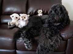"""Watching """"Animal Planet"""" (Bennilover) Tags: liam lamb hazel owl swoop owlet dogs labradoodle benni couch couchpotatoes snacks remote sofa 52weeksfordogs tvwatching"""