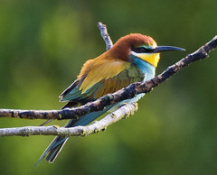 Fa fresca, però ja tenim abellerols / Still cold, but bee-eaters already here (SBA73) Tags: catalunya catalonia nikon d750 nikkor ocell au ave pajaro bird birding abellerol abejaruco beeeater europeanbeeeater meropsapiaster colourful colorido beautiful bonic espectacular gorgeous african colours bokeh perafita
