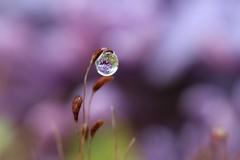 Eau de Lilas (Callie-02) Tags: perle détails macrographie bokeh profondeurdechamp macro canon printemps jardin extérieur reflets réflexion couleurs pourpre violet mauve goutte drop eau lilas fleur mousse plante germes