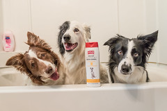 You're going to do what? (Crawford Canines) Tags: bordercollies bordercollie herdingdog dog canine mammal pet bathtime bsthtub bath bathing wash