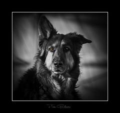 Dandy or Cavalier (timgoodacre) Tags: dog doggy dogs canine germanshepherd nature pet blackwhite blackandwhite monochrome mono