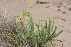 Flora en la playa: Euphorbia paralias (esta_ahi) Tags: deltadelebro euphorbia paralias euphorbiaparalias euphorbiaceae saladar vegetación halófila flora playa baixebre tarragona spain españa испания