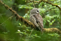 05202018Barred Owl FU5A1904 (Steven Arvid Gerde) Tags: owl