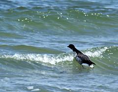 Wave breaker.... (Jaedde & Sis) Tags: knortegås brant brent goose brantabernicla wave