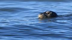 Harbor Seal (Zach Hawn) Tags: washington owen pointdefiance mpt metroparkstacoma pacificnorthwest pnw marine marinebiology wildlife animal pugetsound salishsea