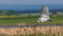 Barn Owl On The Wing (Steve (Hooky) Waddingham) Tags: bird british wild wildlife barn flight voles mice morning night nature northumberland prey photography summer countryside coast canon