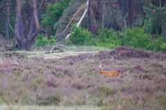 Hoge Veluwe (Mbakker81) Tags: 2018 400mm hogeveluwe holland wild animal animals canon deer wildlife