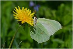 """N° 951 / Le Citron """" femelle """" ( Gonepteryx rhamni ) Focus Distance : 1.68 m (Norbert Lefevre) Tags: citron lépidoptère butineur nikon d500 300mmf4"""