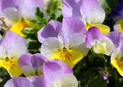 Flowers (LuckyMeyer) Tags: flower fleur sprung garden makro blume blüte stiefmütterchen yellow blue