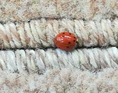 Ladybird (daveandlyn1) Tags: ladybird insect bug carpet macro closeup smartphone cameraphone pralx1 huawei
