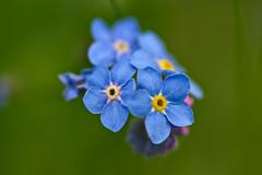 Forget-me-not (pstenzel71) Tags: blumen natur pflanzen darktable bokeh myosotis forgetmenot vergissmeinnicht flower spring