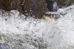 Obstacle (brucetopher) Tags: herring riverherring fish water stream brook stonybrook river riverbottom bluebackherring alewife alewives spring riteofspring return rejuvenation rebirth migration spawn spawning springtime signsofspring babblingbrook
