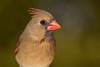 Cardinal rouge/Northern cardinal (jean-francoislavallée) Tags: oiseau bird cardinal rouge northern red quebec canada nature wildlife sigma nikon