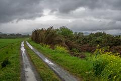 Windy day. (Yasuyuki Oomagari) Tags: landscape road flower yellow bamboo riverside field weed rural mountain rain windy japan kyushu fukuoka nikon d850 zeiss distagont1435 日本 福岡県 九州 風景写真 田舎